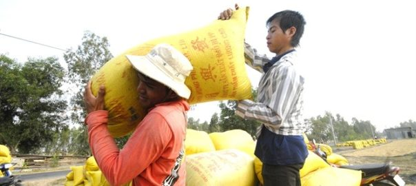 Since they sell fresh rice right after harvesting, farmers are not benefiting from rising prices. – Photo danviet.vn